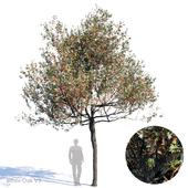 White Oak Var3