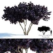 Common hazel   Corylus avellana Purpurea