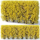 Forsythia # 2 hedge. H180 cm