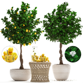 Plant Collection 265. Citrus limon