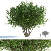 Common hazel | Corylus avellana