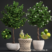 Plant Collection 266. Citrus lime