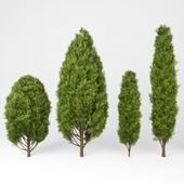 Mediterranean cypress No.1