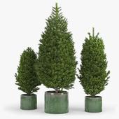 Fir tree fir