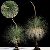 Xanthorrhoea arborea