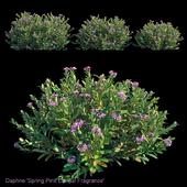 Daphne Spring Pink Eternal Fragrance