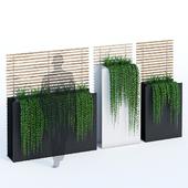 Sotomon ivy