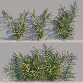 Ficus pumila climber