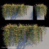 Ficus pumila creeper