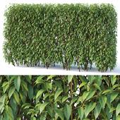Forsythia # 6 hedge. H180 cm