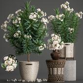 Plant collection 269. Nerium oleander