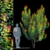 Cotinus Coggygria Ancot | GOLDEN SPIRIT