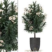 Коллекция растений 271. Nerium oleander