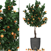 Plant collection 272. Citrus mandarin