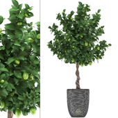 Plant collection 273. Citrus lime