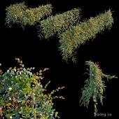 Trailing ivy 3