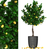 Plant collection 276. Citrus lemon
