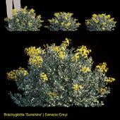 Brachyglottis Sunshine | Senecio Greyi