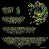 Trailing ivy 4