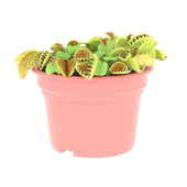 комнатное растение Dionaea (венерина мухоловка)