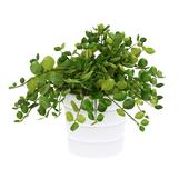 комнатное растение himalayamix