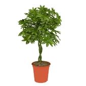 комнатное растение schefflera