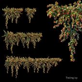 Trailing ivy 5