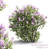 Syringa vulgaris #1