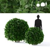 Пузыреплодник калинолистный зеленый 2 куста | Physocarpus opulifolius sphere