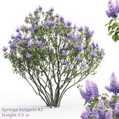Syringa vulgaris #2