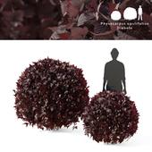 Пузыреплодник калинолистный Диаболо 2 куста | Physocarpus opulifolius Diabolo sphere
