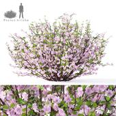 Миндаль трехлопастный куст | Prunus triloba Louiseania