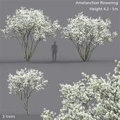 Amelanchier flowering #2