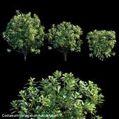 Codiaeum Variegatum Aucubifolium
