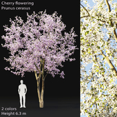 Prunus cerasus | Cherry flowering #2