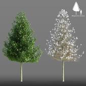 Магнолия кобус дерево | Magnolia Kobus