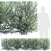 Leucophyllum frutescens hedge
