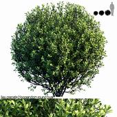 Ilex crenata Hoogendorn_round bush