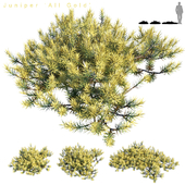 Juniperus conferta | All Gold