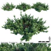Juniperus Conferta | Shore juniper