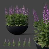 Digitalis purple flowers in flowerpots   Digitalis purpurea