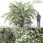 Philadelphus Bouquet Blanc #2 | Жасмин