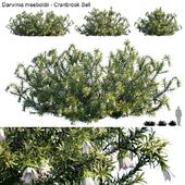 Darwinia Meeboldii | Cranbrook bell