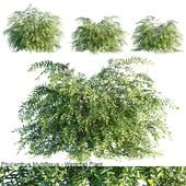 Phyllanthus Multiflorus | Waterfall plant