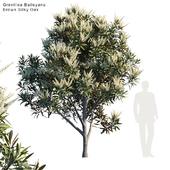 Grevillea Baileyana   Brown Silky Oak