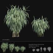Arundo Donax Versicolor cane - Medium & small size