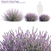 Heavenly cloud sage | Leucophyllum frutescens