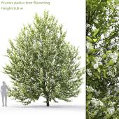 Черёмуха цветущая | Prunus padus #1 (6.8m)