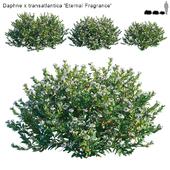 Daphne x transatlantica | Eternal Fragrance