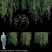 Vernonia Elliptica | Curtain creeper V1